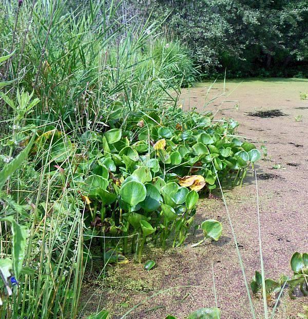 Белокрыльник болотный выращивание в пруду 19