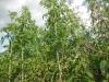 DSCN2030  Взрослое растение болиголова