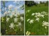 DSN2042 Соцветия Болиголова и Бутеня