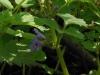 DSCN0782 Цветок будры плющевидной