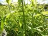 DSCN3855 Строение стебля растения