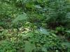 IF  Чистец лесной в лесу