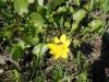 DSCN0384 Чистяк весенний медонос