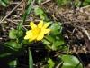 DSCN0391  Чистяк весенний цветущее растение