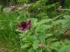 DSCN2007 Цветок сабельника болотного