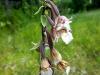 IF Соцветие дремлика болотного