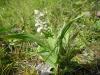 dscn3264 Разновидность дремлика болотного