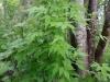 DSCN5162 Княжик-листопадная лиана.