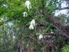 DSCN5182 Цветение княжика сибирского