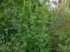 DSCN3795 Травянистое растение горец птичий