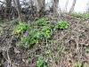 DSCN0292 Хохлаптка плотная весной