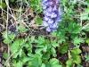 DSCN0297 Цветение хохлатки
