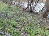 dscn0379 Хохлатка на берегу реки