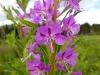 DSCN2563 Цветки кипрея