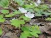 DSCN0640  Цветок кислицы обыкновенной