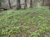DSCN0724  Кислица обыкновенная в хвойном лесу