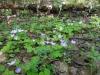 DSCN0827  Кислица в лиственном лесу