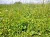 DSCN1733 Манжетка в поле