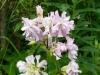DSCN6039 Соцветие мыльнянки лекарственной