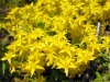 DSCN2411 Очиток едкий цветение