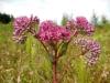 DSCN3770 Цветение очитока пурпурного