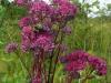 DSCN4195 Очиток пурпурный
