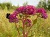 DSCN4224 Очиток пурпурный хороший медонос