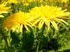 DSCN0919 Цветок одуванчика лекарственного