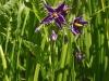 DSCN3839 Соцветие паслёна сладко-горького
