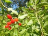 DSCN3845 Паслён сладко-горький- плодоношение