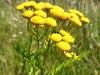 DSCN3860 Соцветие пижмы обыкновенной