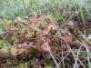 DSCN3299  Строение листьев росянки круглолистной