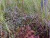 DSCN3303  Строение стебля росянки круглолистной