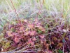 DSCN3305  Росянка круглолистная на болоте