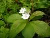 dscn4810 Цветок седмичника