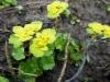 DSCN0346 Селезёночник обыкновенный цветение