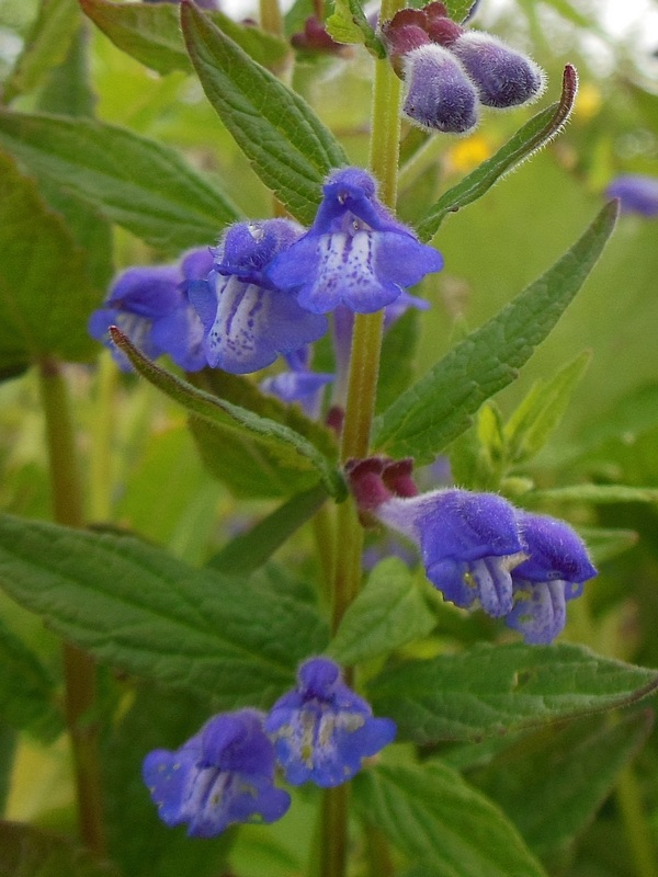 Шлемника цветок