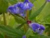 DSCN2160 Цветок щлемника обыкновенного