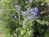 DSCN1603 Синюха голубая
