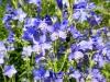 DSCN1934 Синюха голубая - цветение
