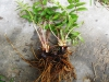 DSCN0516 Таволга вязолистная молодое растение