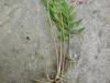 DSCN1377 Валериана лекарственная- молодое растение