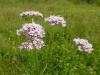 DSCN2543 Соцветие валерианы лекарственной
