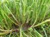 DSCN3236 Строение стебля вех