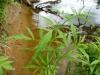 DSCN3237 Листья веха ядовитого