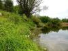 DSCN3240  Вех ядовитый на берегу реки