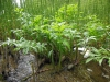 DSCN5118 Вех ядовитый на болоте
