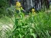 IF Вербейник обыкновенный цветение
