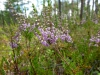 DSCN3173 Строение цветка вереска обыкновенного