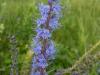 DSCN2662 Цветок вероники